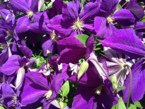 The clematis beside my house